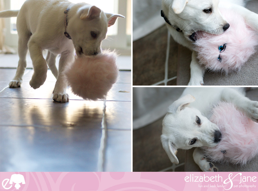 Dog Photos: Three photos of a cute lab puppy playing with a pink fuzzy ball