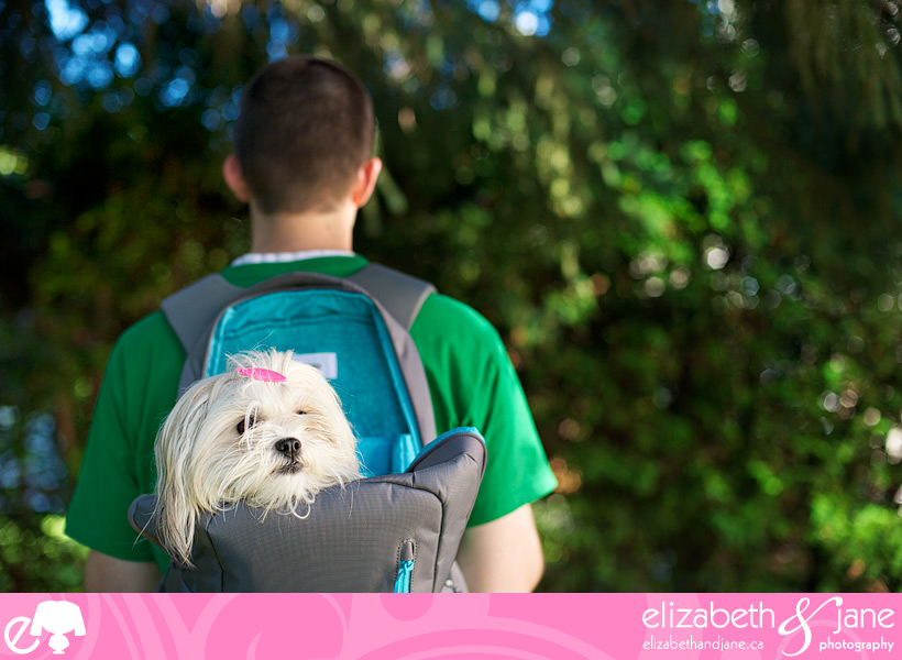 Dog photo: a cute Maltese/ShihTzu dog sits in a backpack worn by a young man