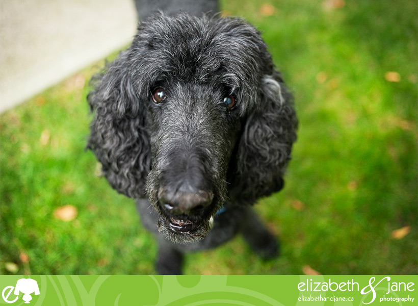 Dog Photo: poodle looking up at the camera