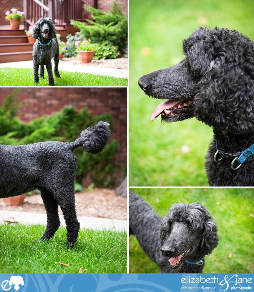 Dog Photo: poodle details