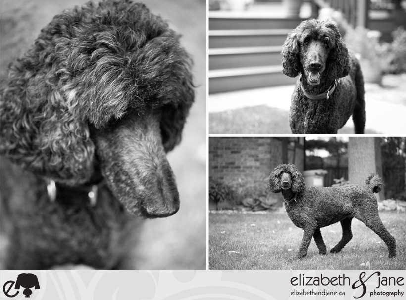 Dog Photo: poodle details in black and white