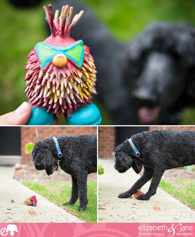 Dog Photo: poodle playing with his toy