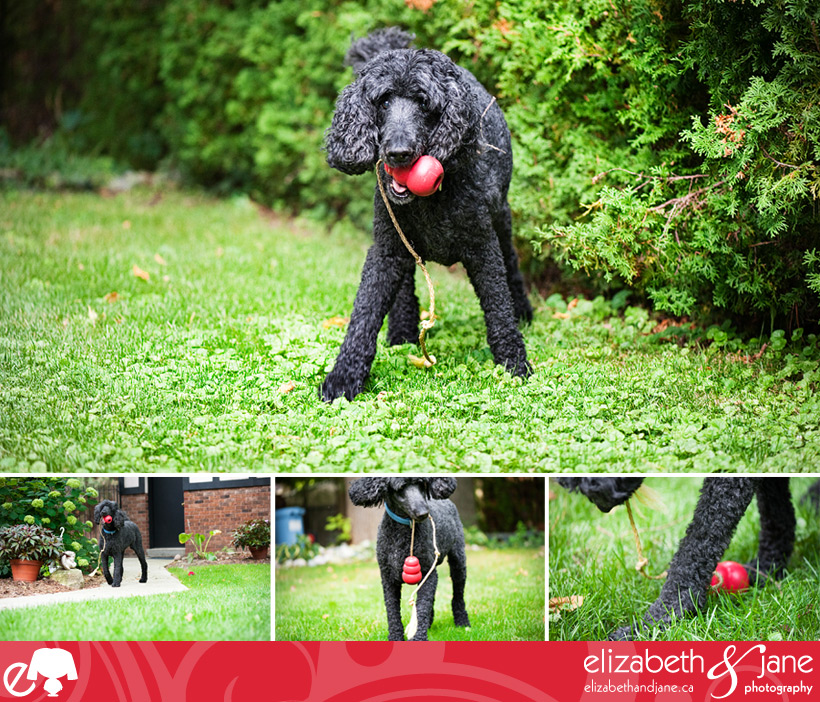 Dog Photo: poodle playing with his kong