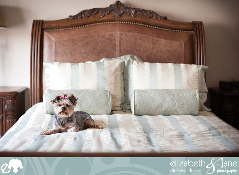 Dog photo: Yorkie being cute on the bed