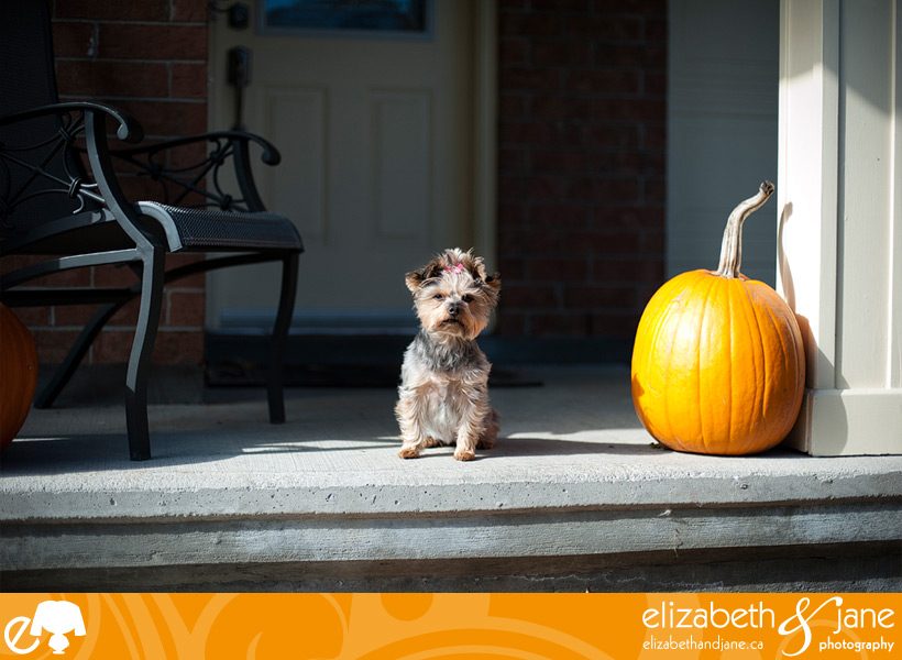 Dog photo: Yorkie standing with a pumpkin
