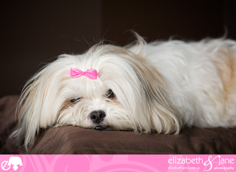 Corduroy the Shih-Tzu/Maltese mix dog laying on a pillow