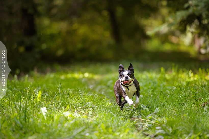 Isidore and Fleurette the boston terriers photographed by Ottawa Dog Photographer, Liz Bradley of elizabeth&jane photography