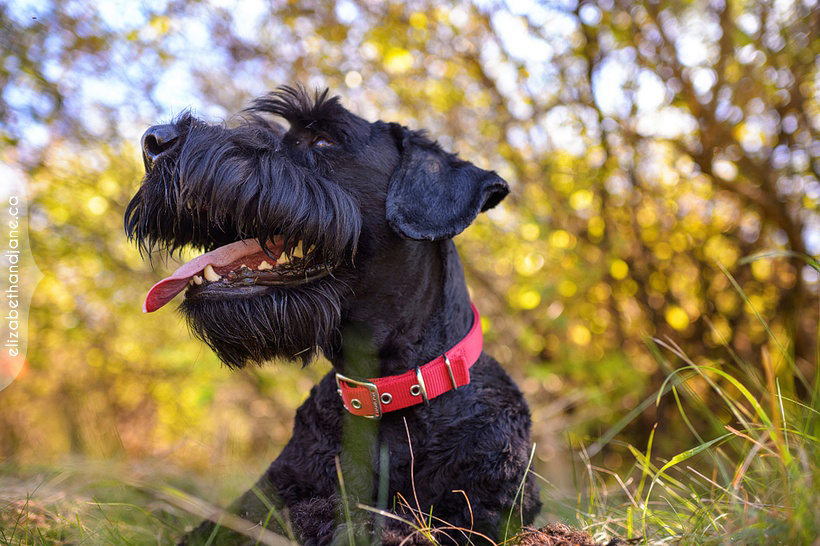 Seamus the Schnauzer photographed in Ottawa by Liz Bradley of elizabeth&jane photography