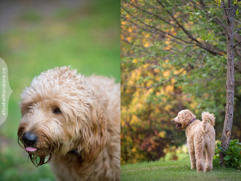 Jack the Golden Doodle photographed in Ottawa by Liz Bradley of elizabeth&jane photography