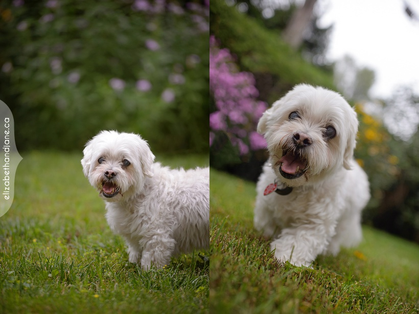 Nicky the 16 year old Lhasapoo photographed in Ottawa by Liz Bradley of elizabeth&jane photography