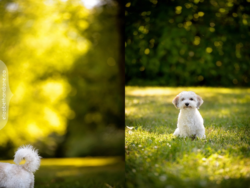 Elfie the Havanese dog photographed in Ottawa by Liz Bradley of elizabeth&jane photography