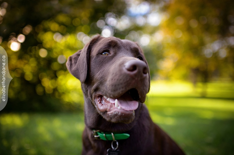 Guinness the chocolate lab dog photographed in Ottawa by Liz Bradley of elizabeth&jane photography