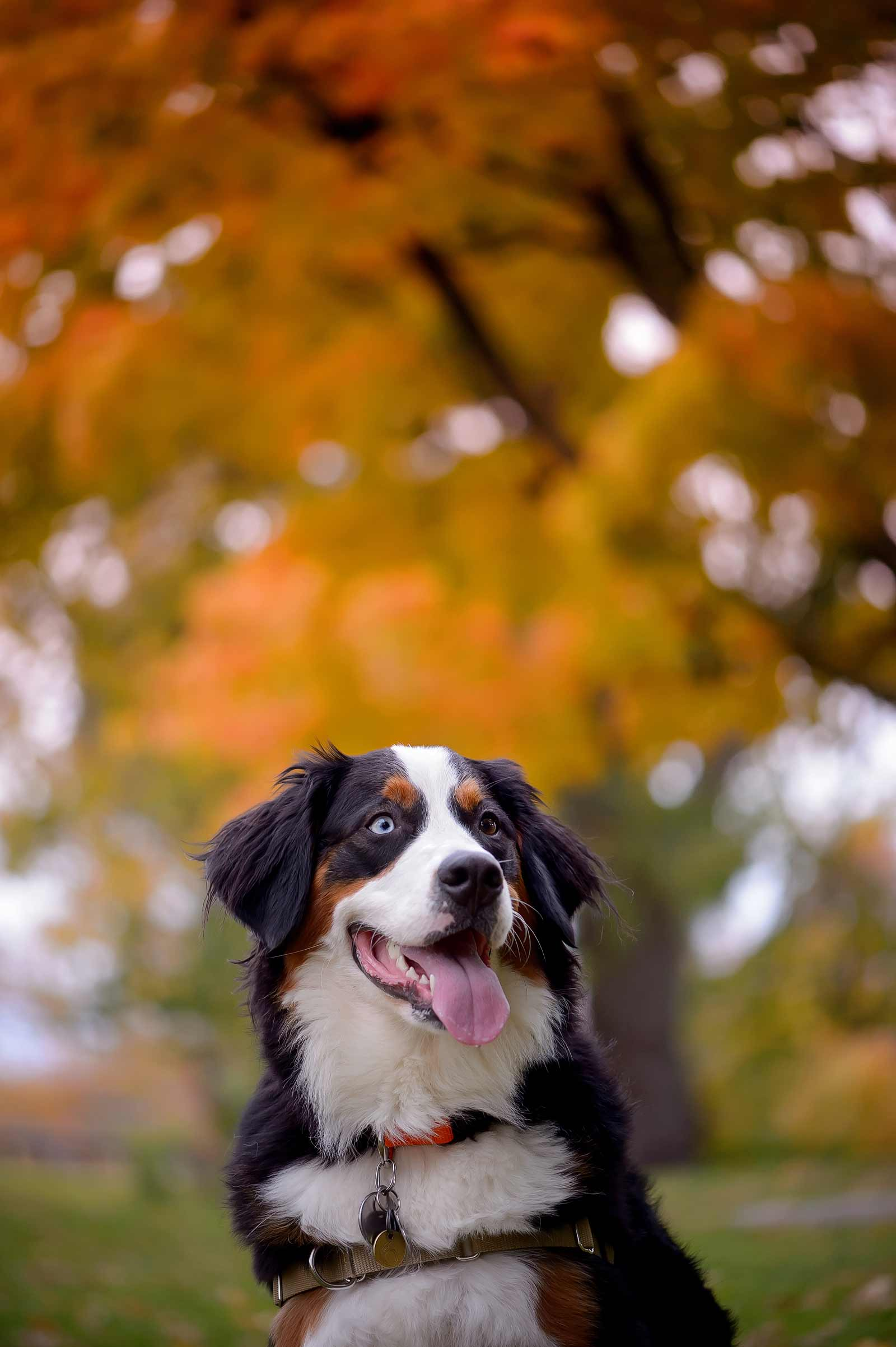 Ottawa Dog Photographer Princess Leia the Bernese mountain dog at Lemieux Island in the fall chewing on a stick