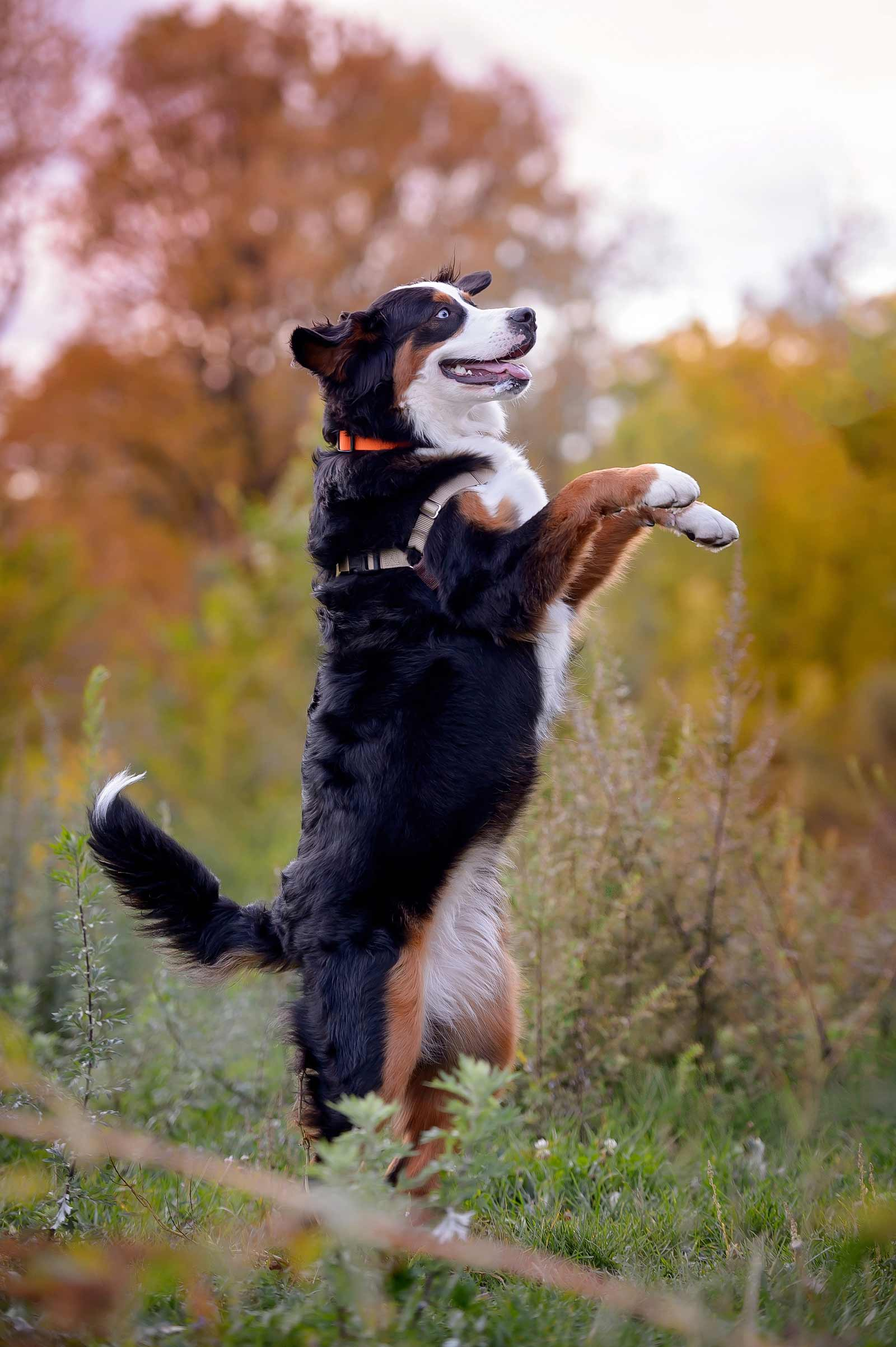 Ottawa Dog Photographer Princess Leia the Bernese mountain dog at Lemieux Island in the fall standing on her hind legs