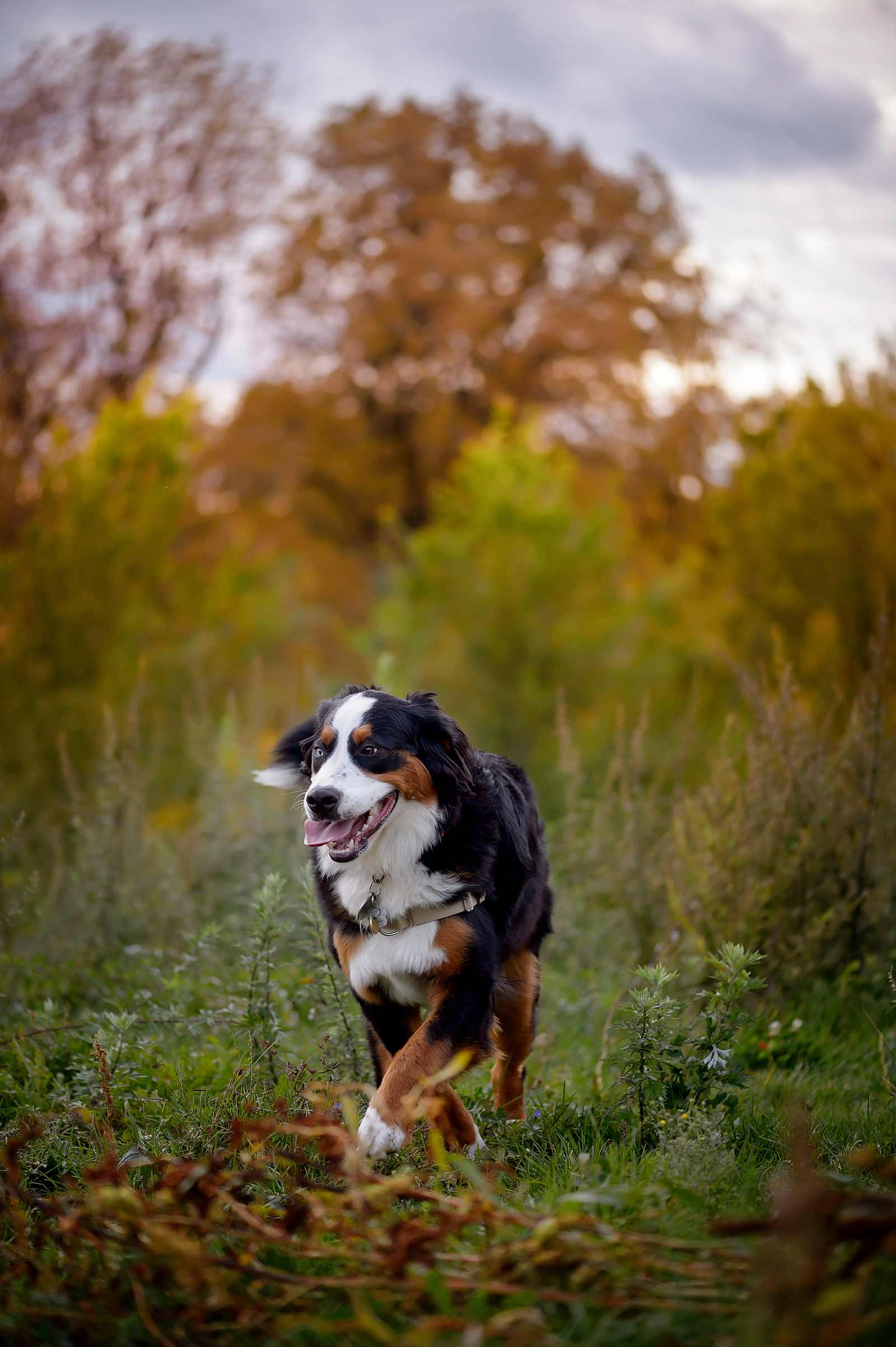 Ottawa Dog Photographer Princess Leia the Bernese mountain dog at Lemieux Island in the fall running