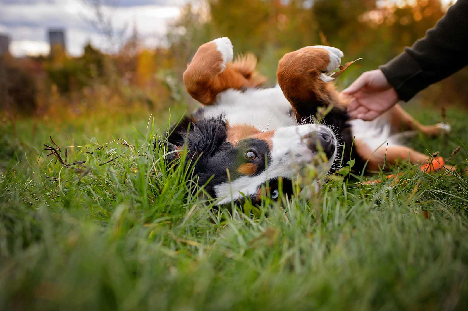 Ottawa Dog Photographer Princess Leia the Bernese mountain dog at Lemieux Island in the fall laying on her back getting a belly rub