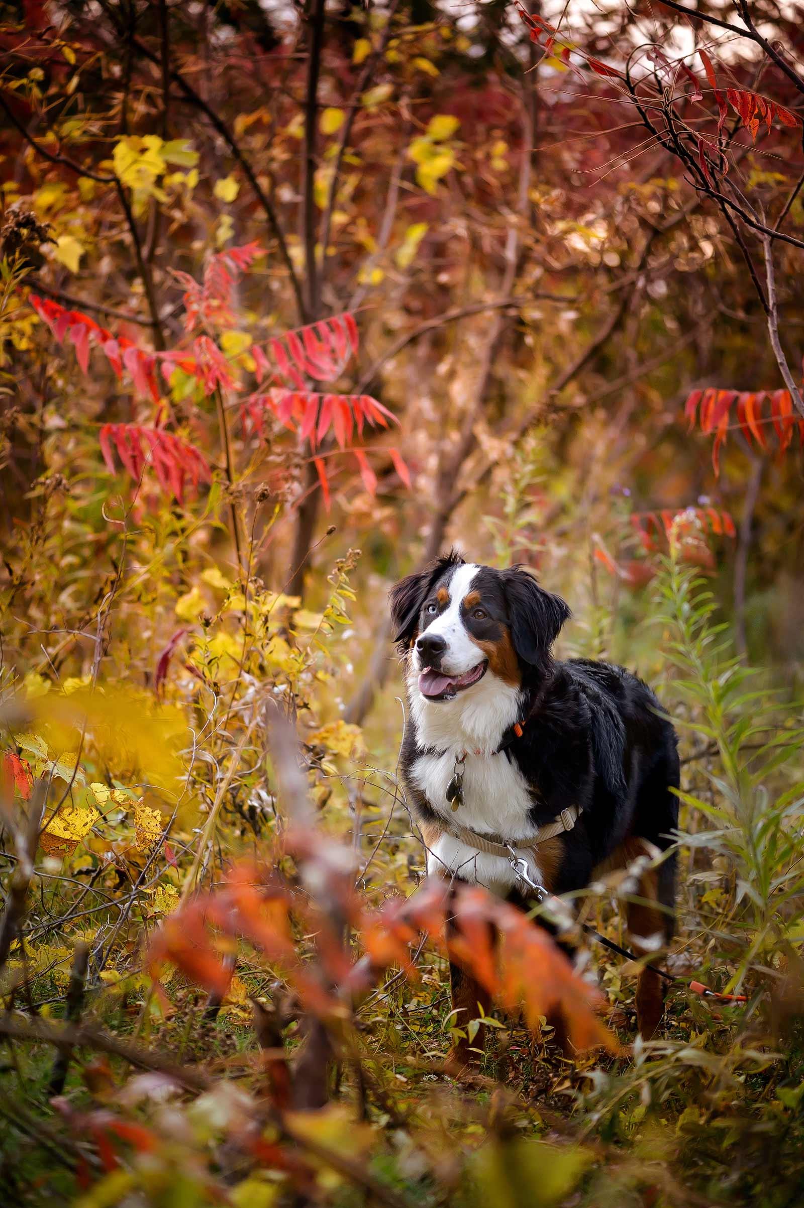 Ottawa Dog Photographer Princess Leia the Bernese mountain dog at Lemieux Island in the fall peeking through the trees