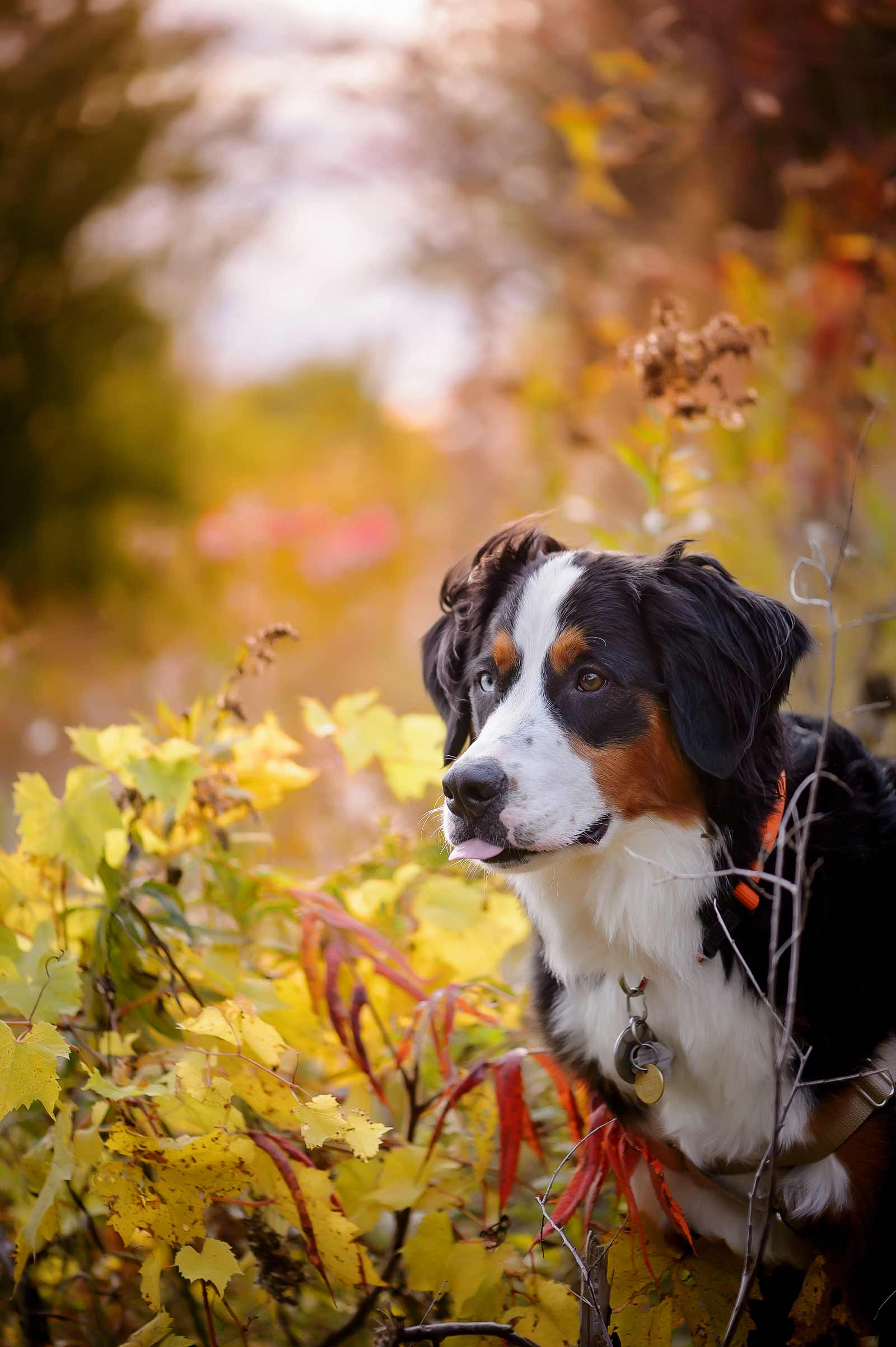 Ottawa Dog Photographer Princess Leia the Bernese mountain dog at Lemieux Island in the fall with her owners standing on a path