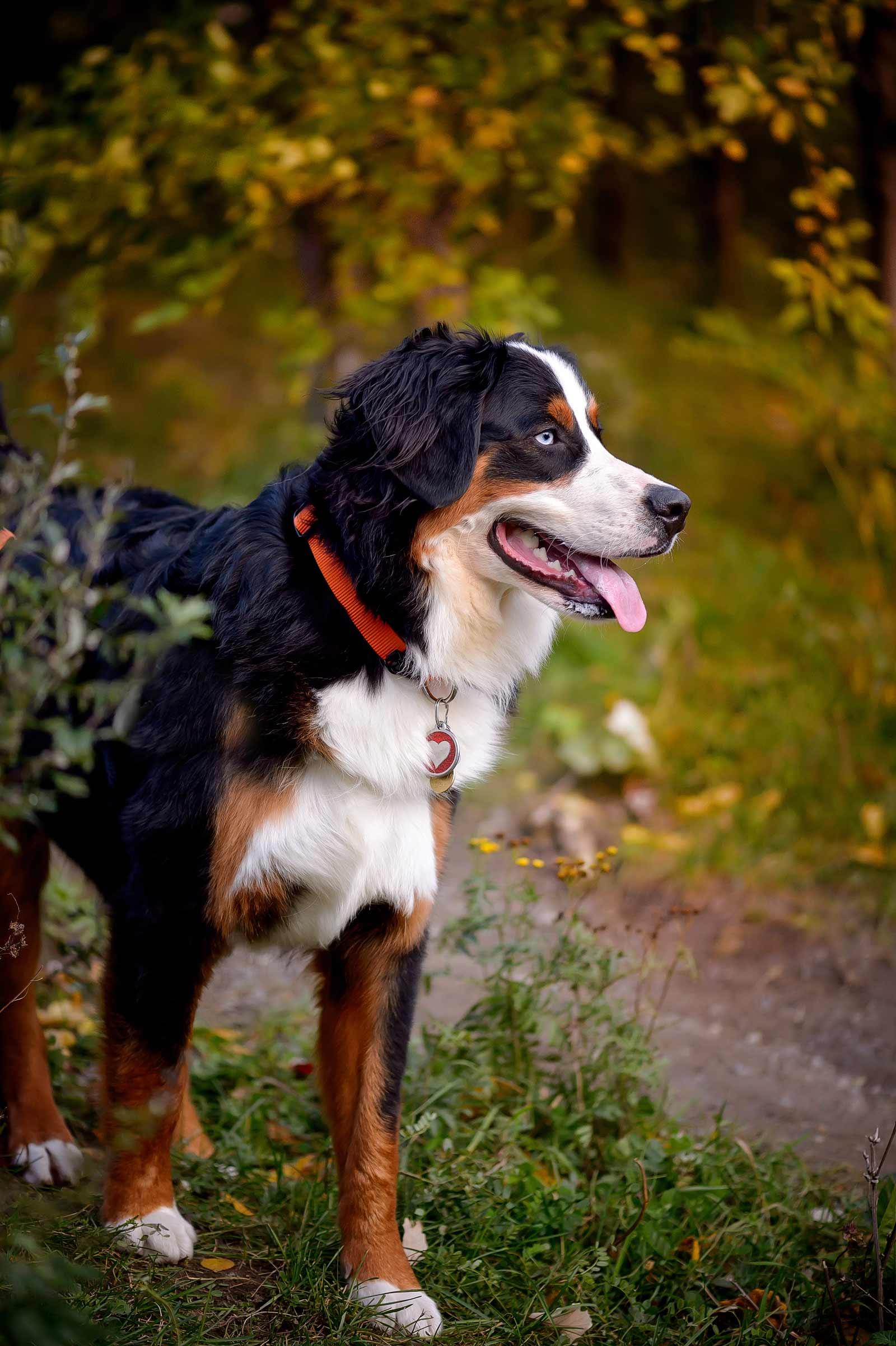 Ottawa Dog Photographer Princess Leia the Bernese mountain dog at Lemieux Island in the fall