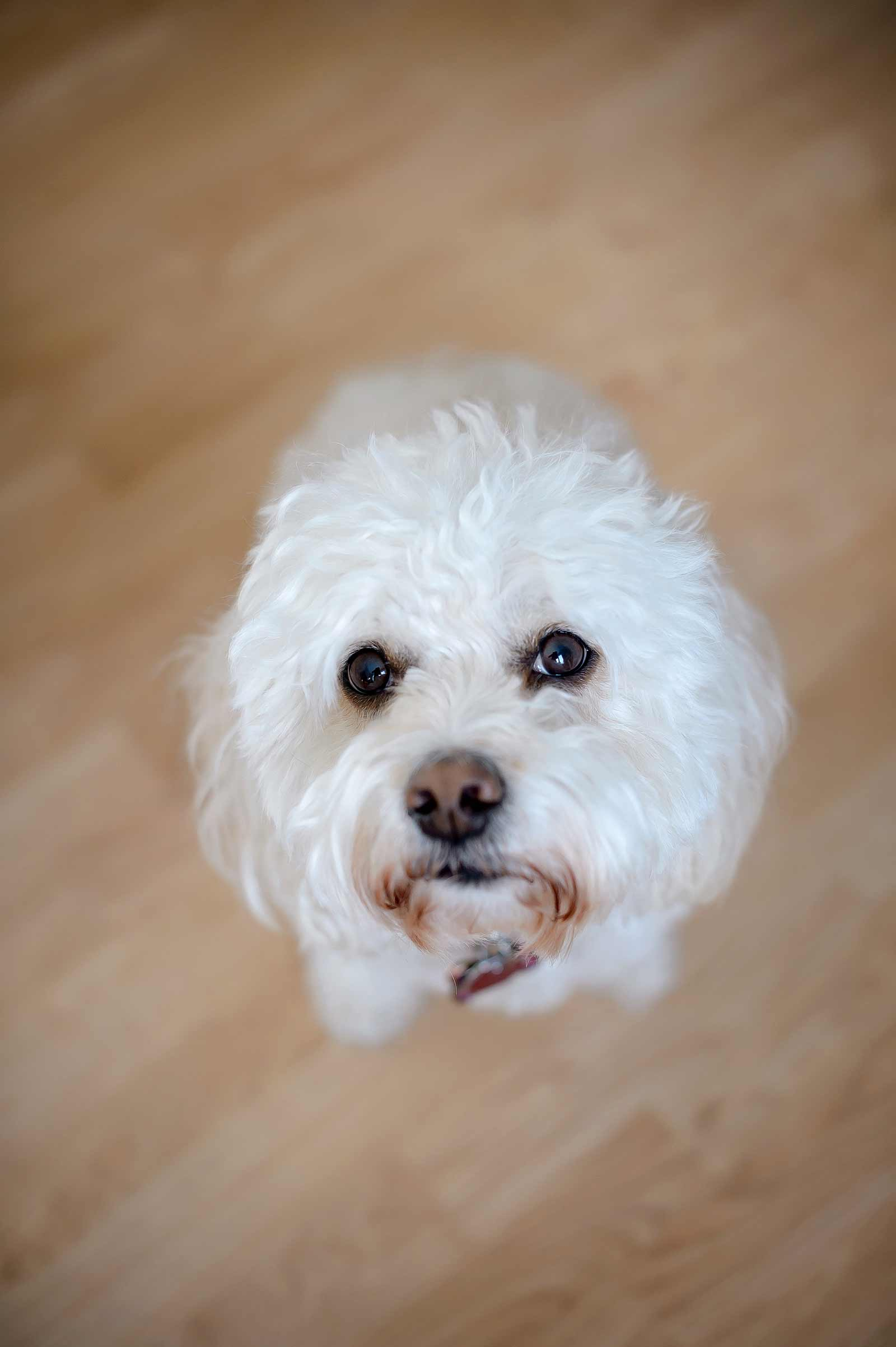 White bichon mix looking at the camera