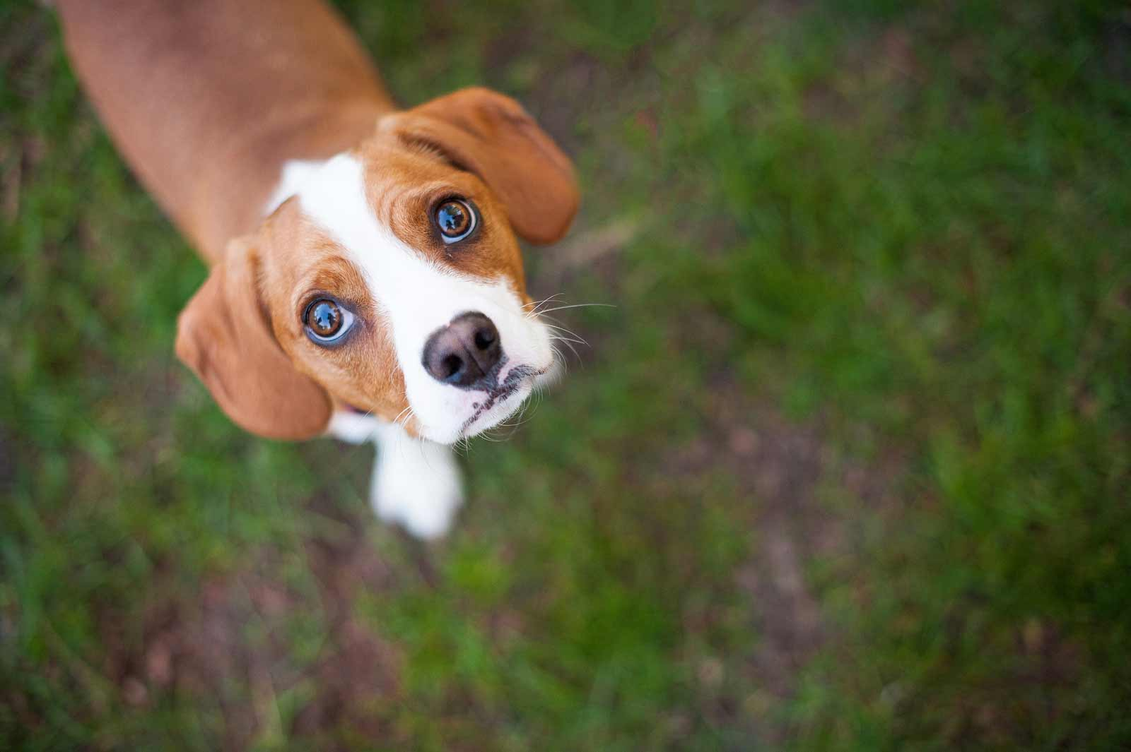 A very cute beagle dog looking up at the camera at dow's lake for his pet session