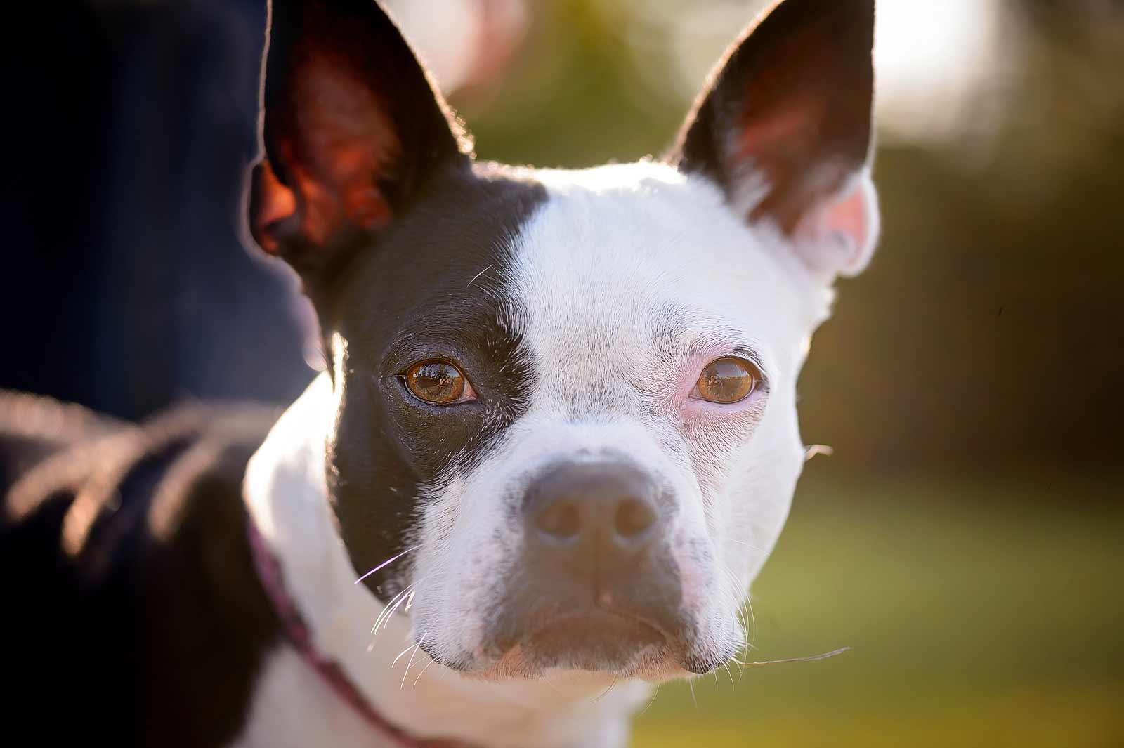 Henry-Chloe-boston-terriers-sneakpeek-03
