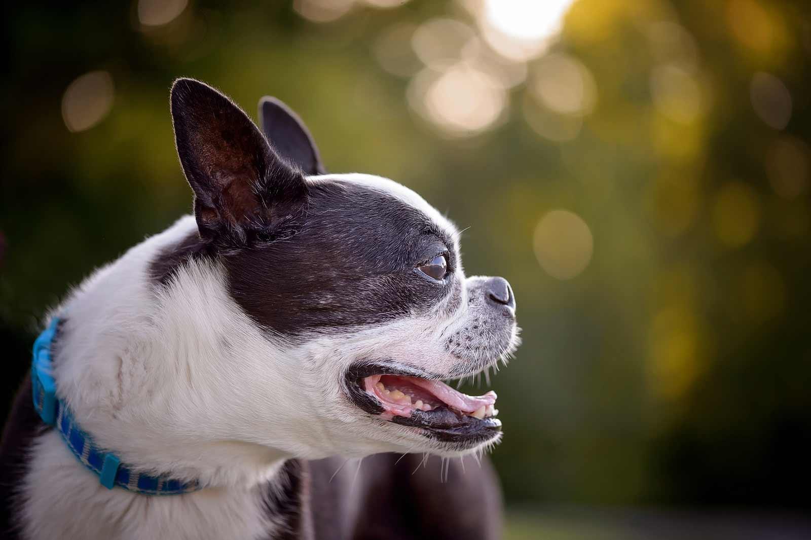 Henry-Chloe-boston-terriers-sneakpeek-06