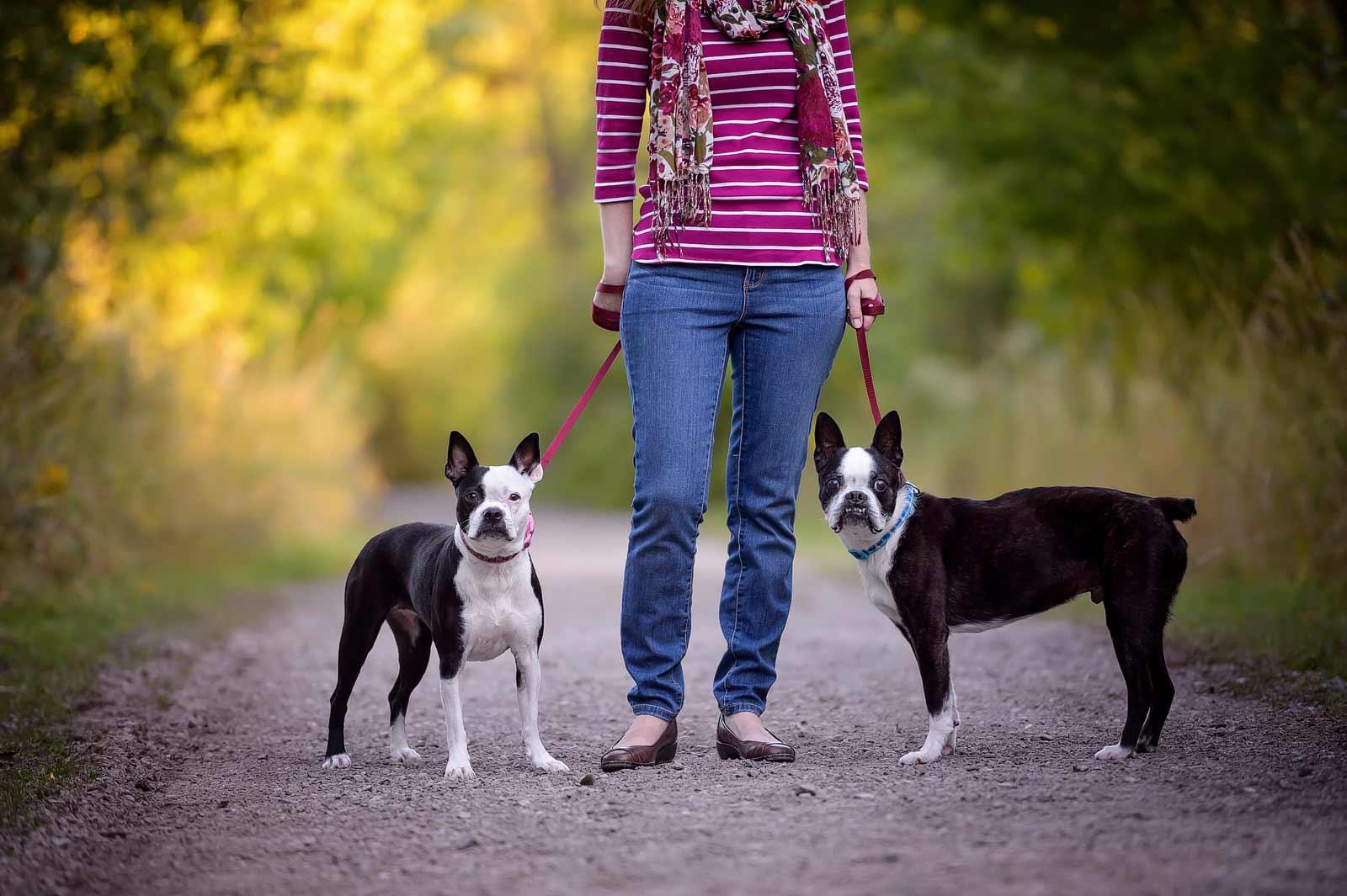 Henry-Chloe-boston-terriers-sneakpeek-07