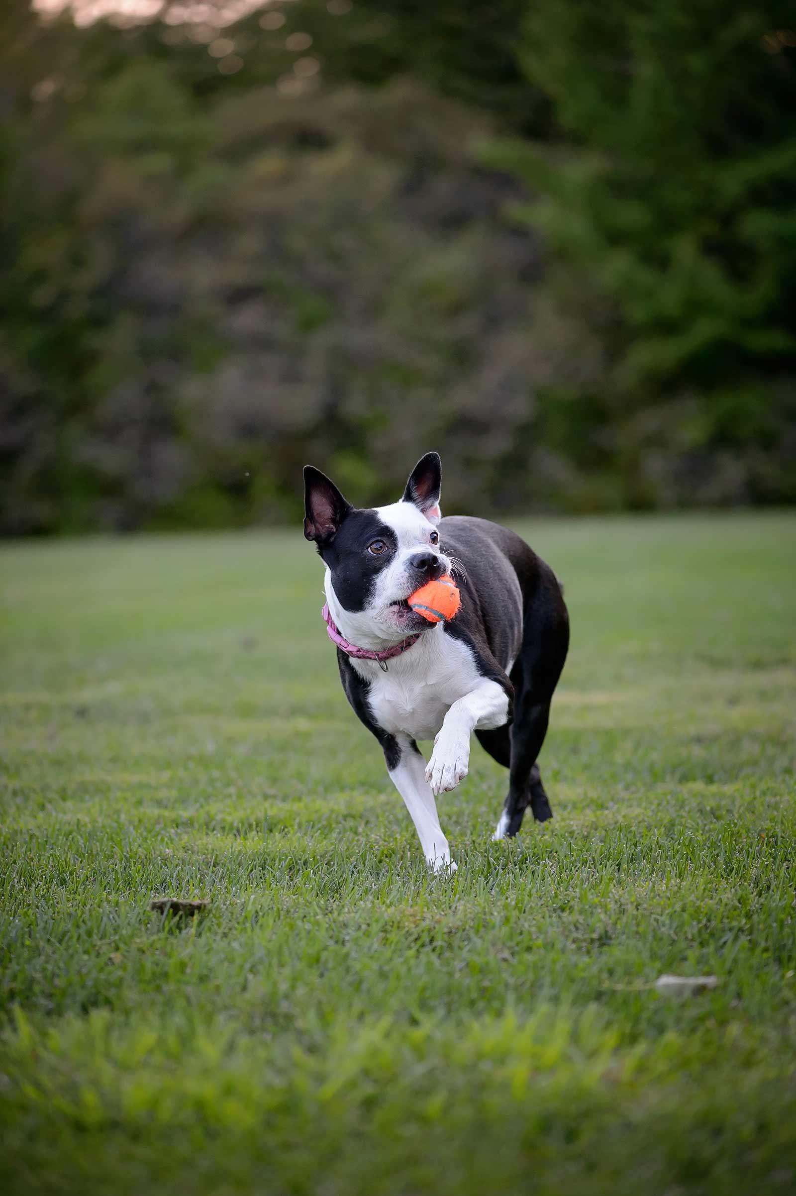Henry-Chloe-boston-terriers-sneakpeek-08