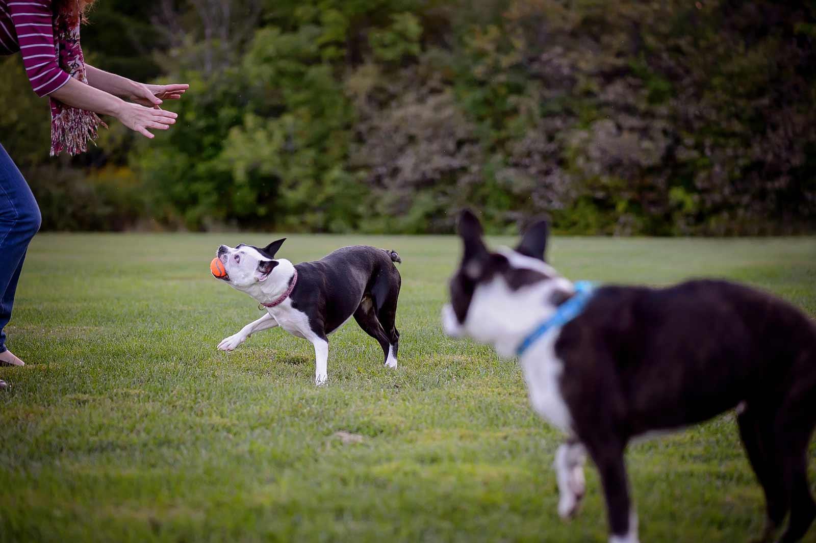 Henry-Chloe-boston-terriers-sneakpeek-10