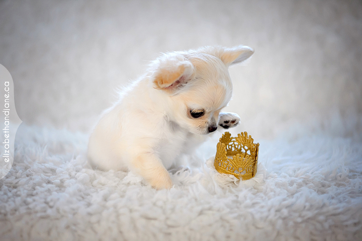 Small puppy playing with a crown