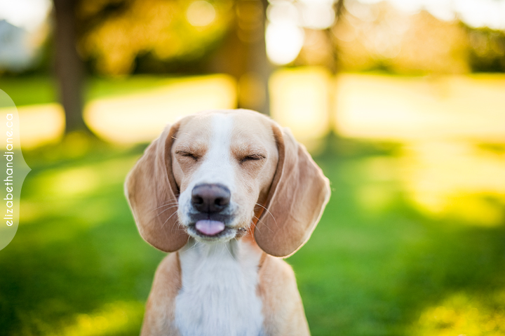 Beagle showing it's tongue in a park