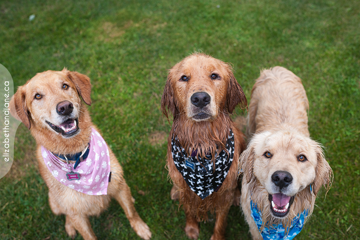 Three adorable dogs with bandanas