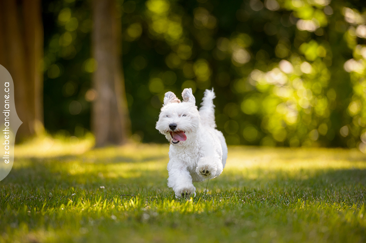Small dog running across the grass